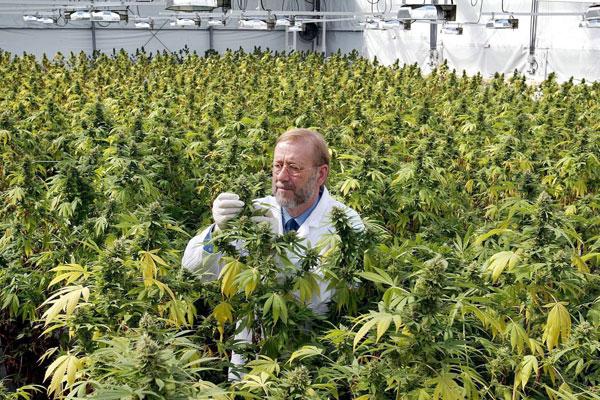 Estudio revela que el uso de cannabis reducir�a los espasmos de la esclerosis m�ltiple