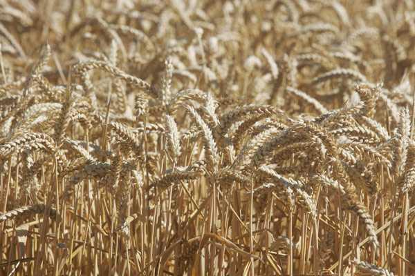 SNA reclama medidas compensatorias para defender al sector maicero chileno