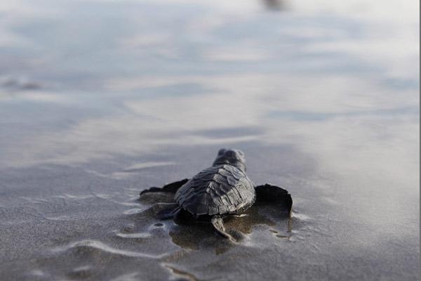 Imagen de archivo de una tortuga marina.