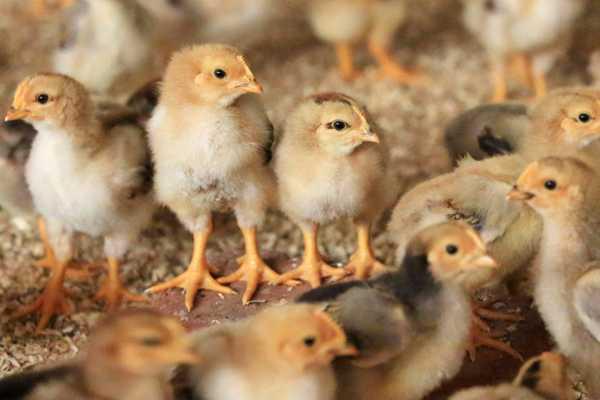 La carne de ave es la m�s consumida por los chilenos con un 42,4% de las preferencias