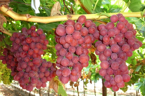 Carozos tempranos uva kiwis y paltos entre los primeros afectados por heladas del 18 - Variedades de uva de mesa ...